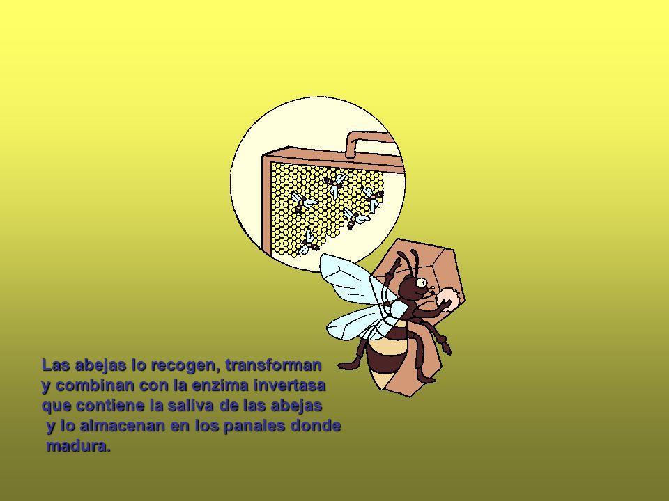 Las abejas lo recogen, transforman