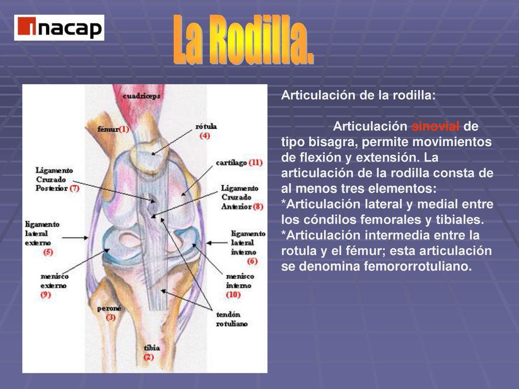 Hermosa Anatomía Clínica De La Articulación De La Rodilla Festooning ...