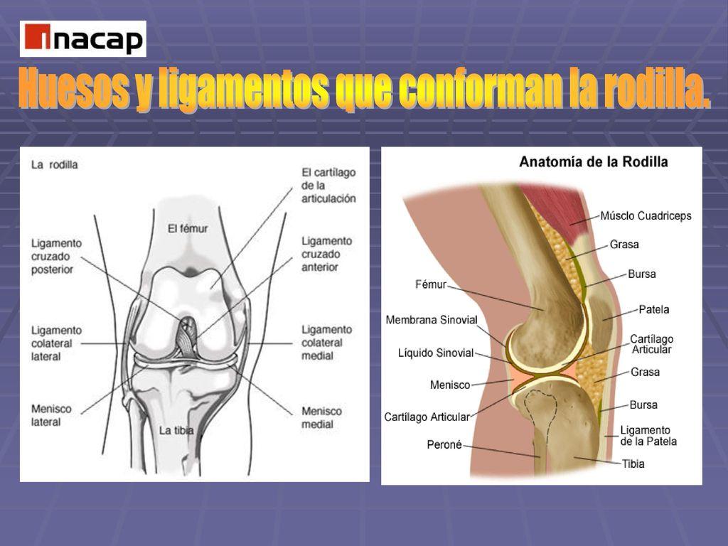 Magnífico Anatomía Ppt Hueso Ornamento - Anatomía de Las Imágenesdel ...
