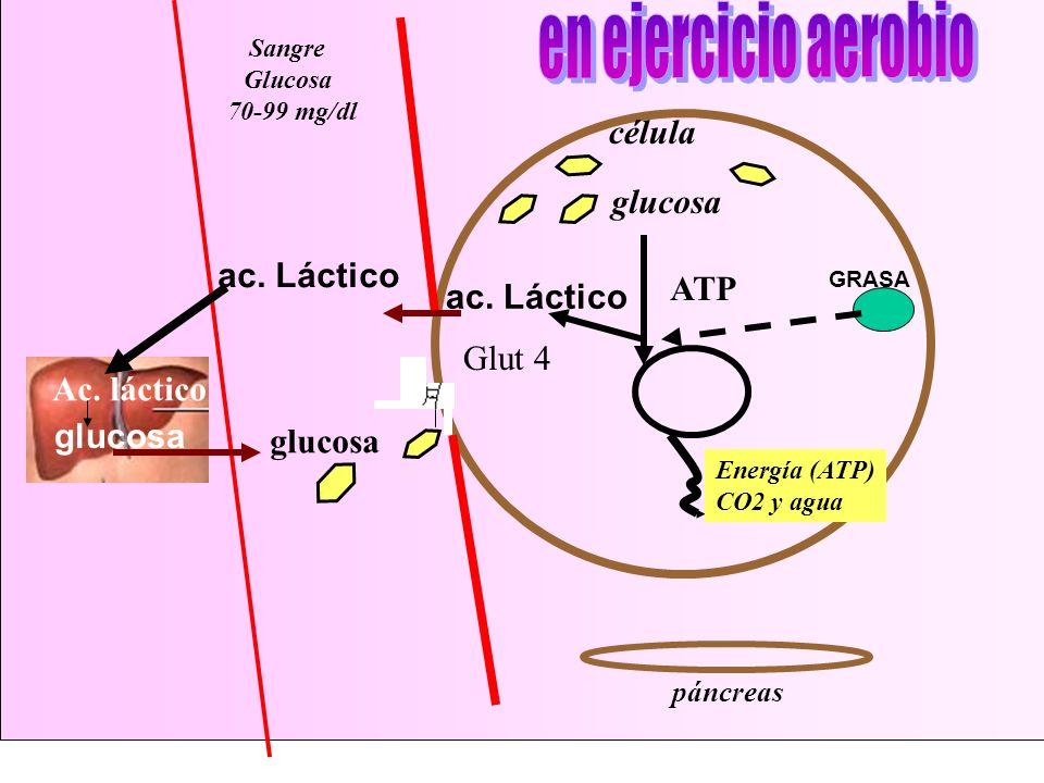 en ejercicio aerobio célula glucosa ac. Láctico ATP ac. Láctico Glut 4