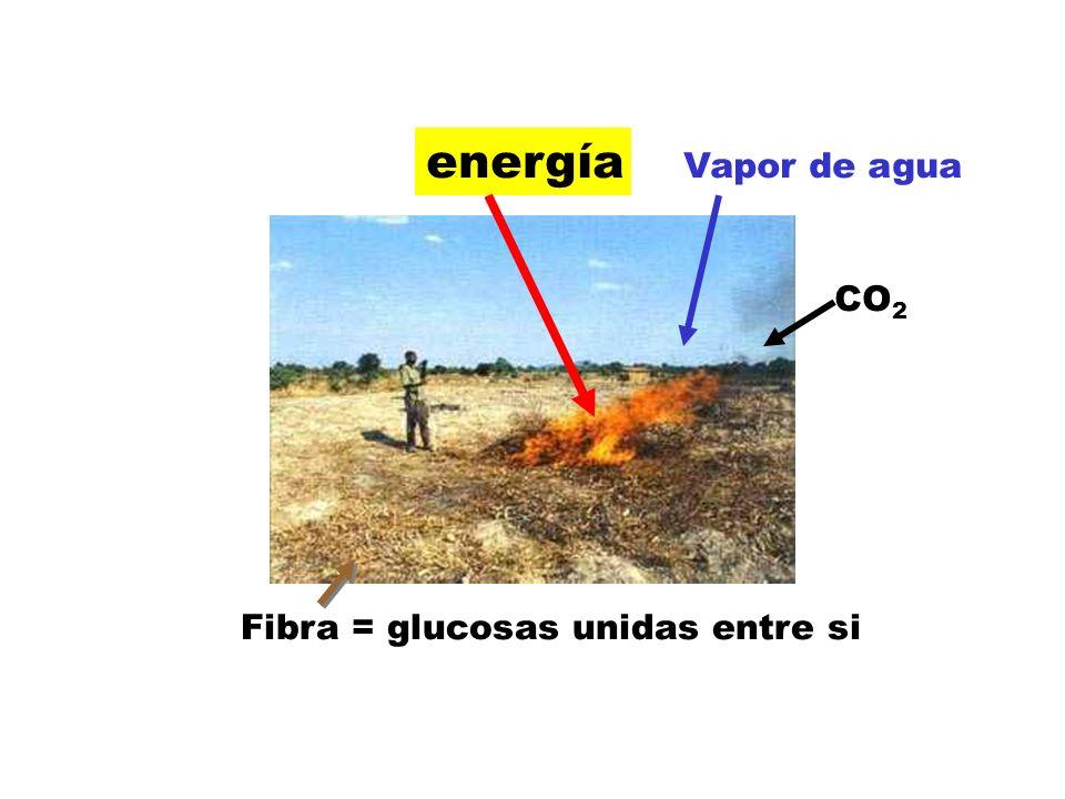 energía Vapor de agua CO2 Fibra = glucosas unidas entre si