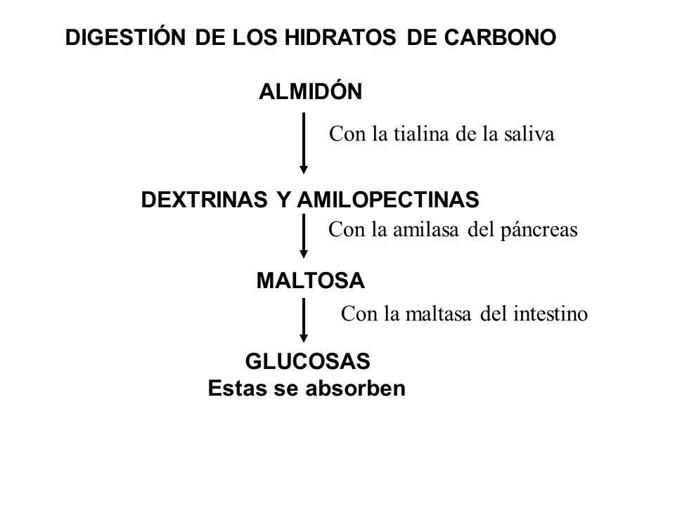 DIGESTIÓN DE LOS HIDRATOS DE CARBONO DEXTRINAS Y AMILOPECTINAS