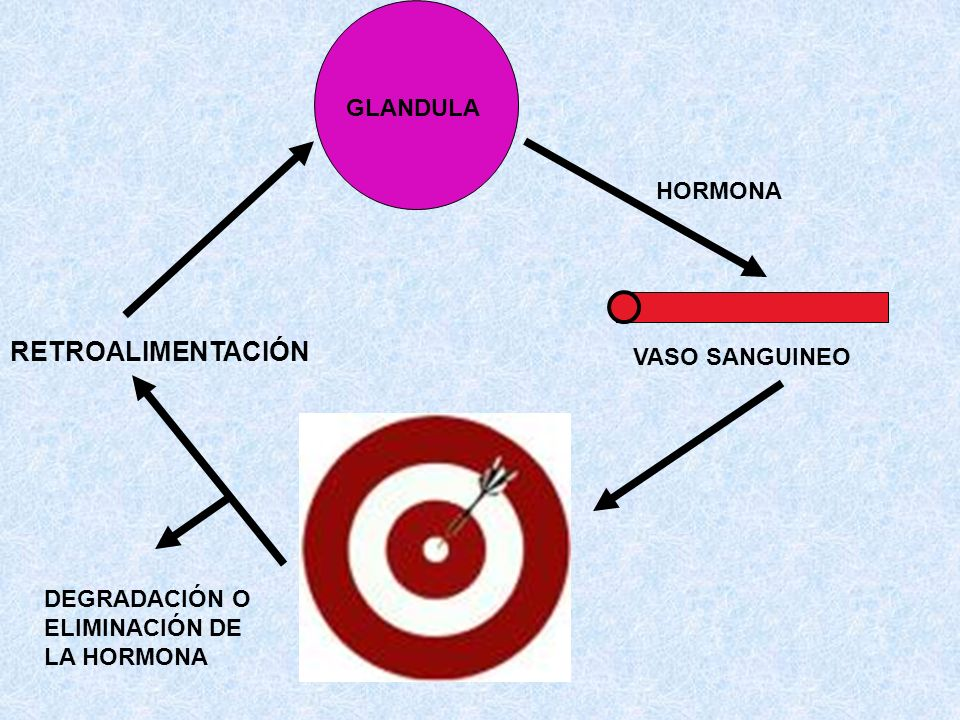 RETROALIMENTACIÓN GLANDULA HORMONA VASO SANGUINEO