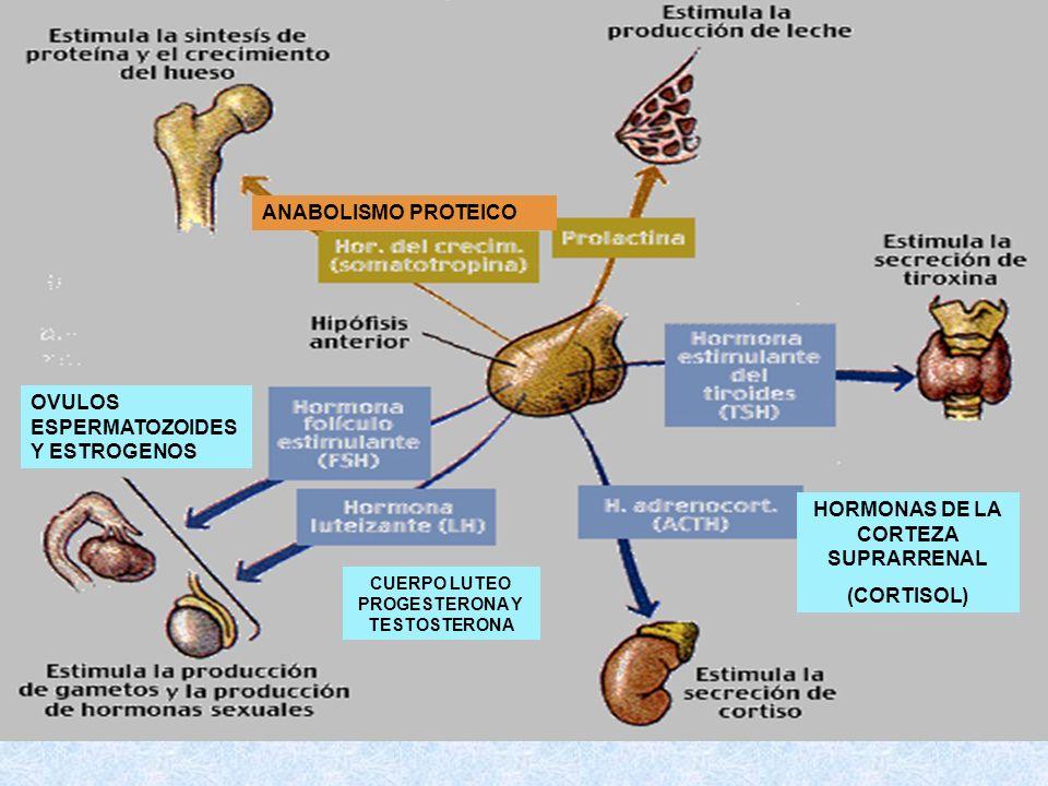 HORMONAS DE LA CORTEZA SUPRARRENAL (CORTISOL)