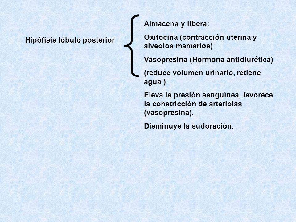 Almacena y libera: Oxitocina (contracción uterina y alveolos mamarios)