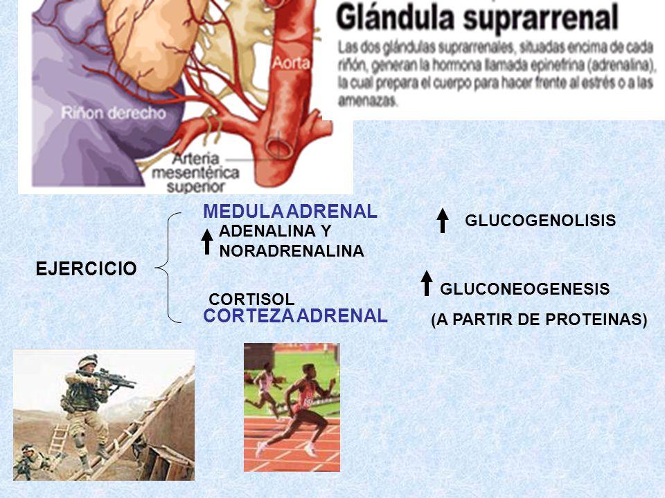 MEDULA ADRENAL EJERCICIO CORTEZA ADRENAL GLUCOGENOLISIS