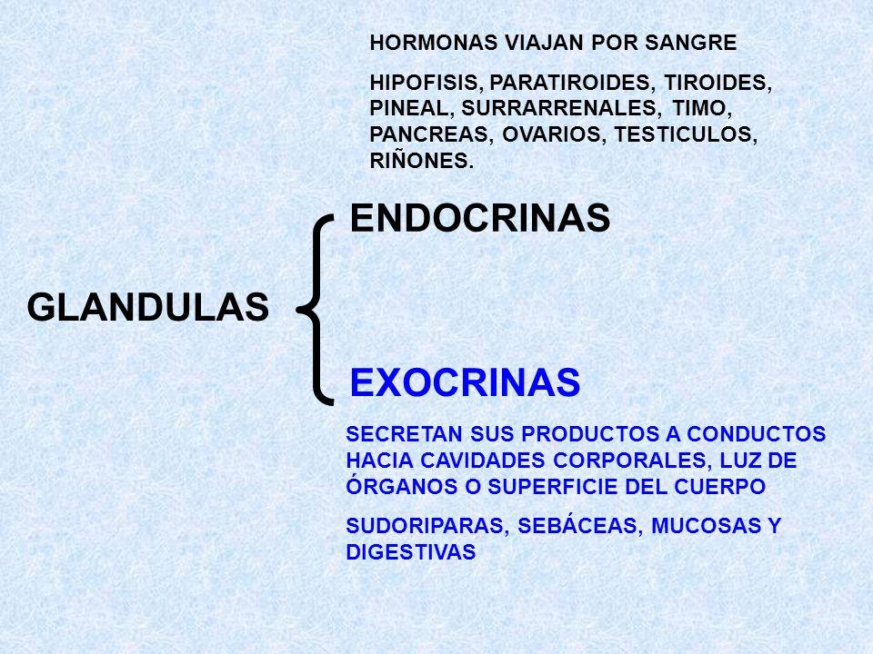 ENDOCRINAS GLANDULAS EXOCRINAS HORMONAS VIAJAN POR SANGRE