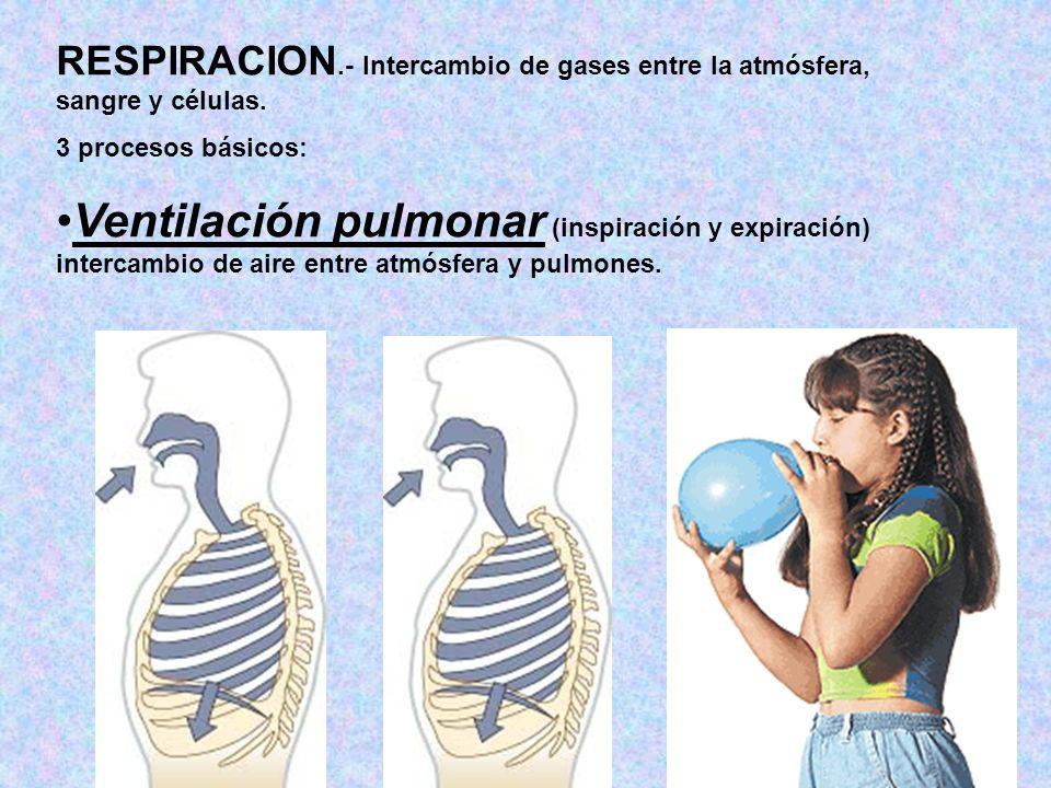 RESPIRACION.- Intercambio de gases entre la atmósfera, sangre y células.