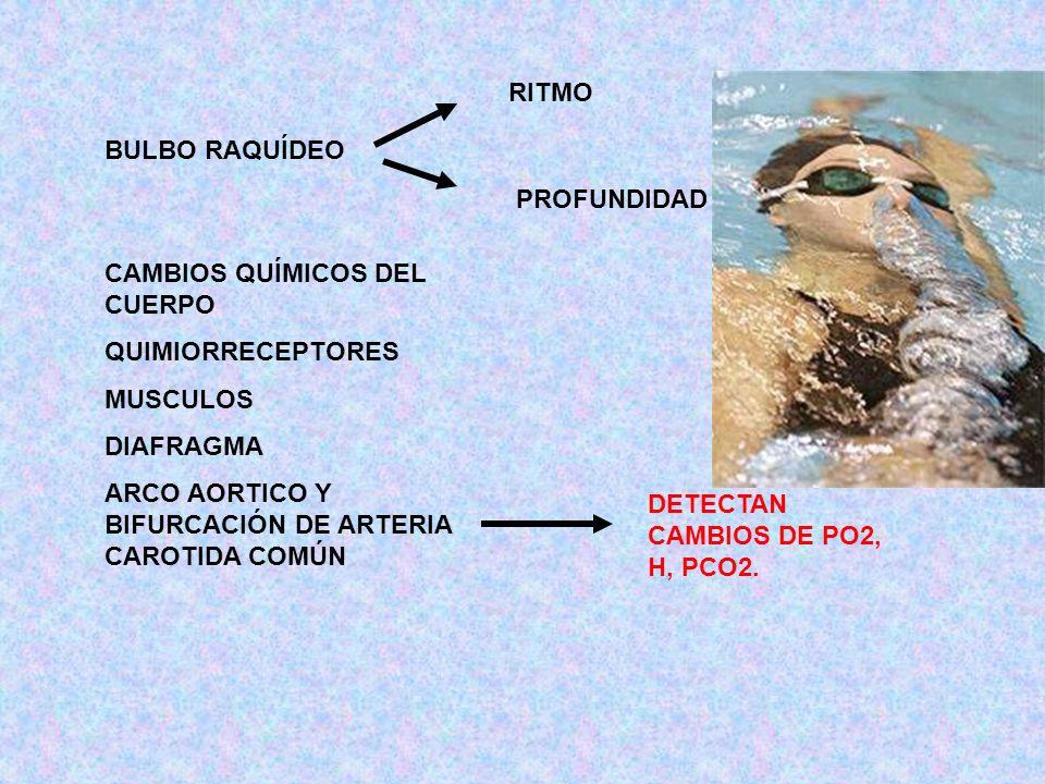 RITMO BULBO RAQUÍDEO. PROFUNDIDAD. CAMBIOS QUÍMICOS DEL CUERPO. QUIMIORRECEPTORES. MUSCULOS. DIAFRAGMA.