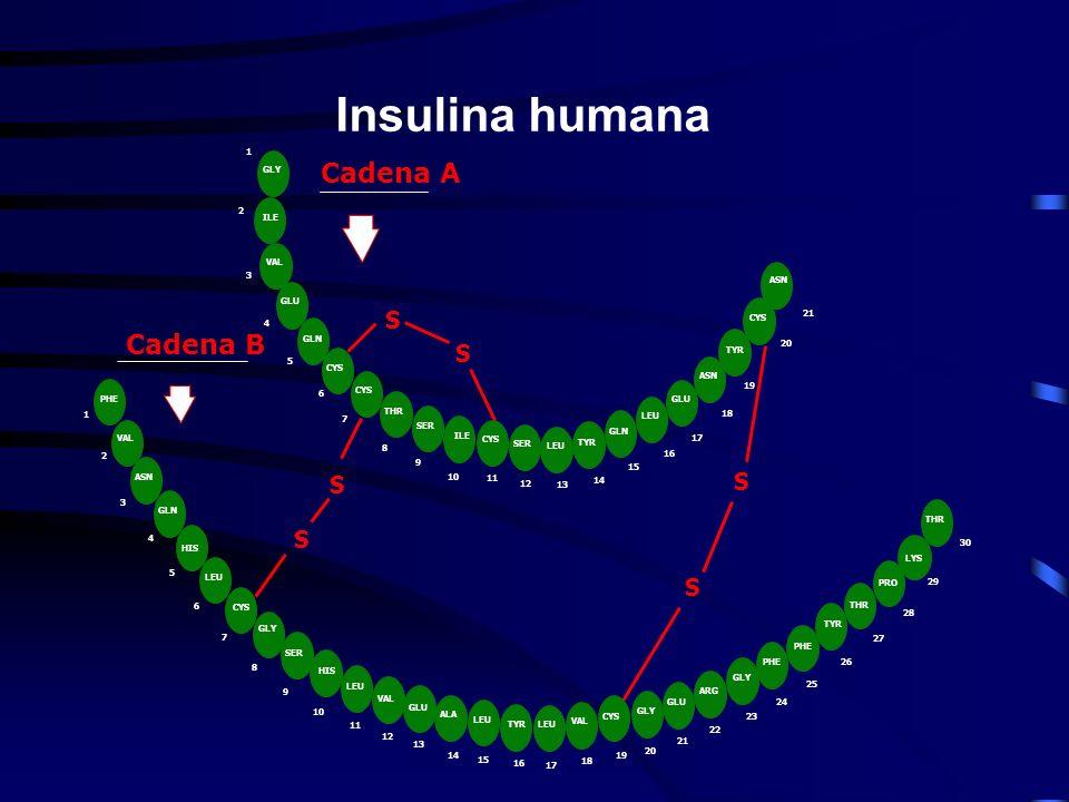 Insulina humana Cadena A Cadena B S S S S S S
