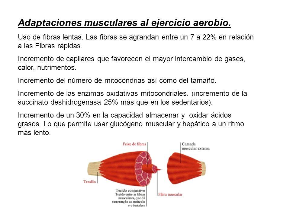 Adaptaciones musculares al ejercicio aerobio.