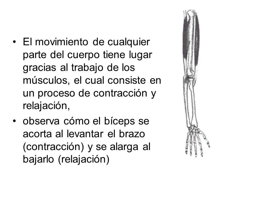 El movimiento de cualquier parte del cuerpo tiene lugar gracias al trabajo de los músculos, el cual consiste en un proceso de contracción y relajación,