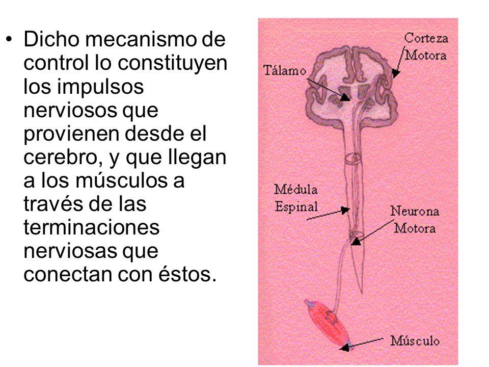 Dicho mecanismo de control lo constituyen los impulsos nerviosos que provienen desde el cerebro, y que llegan a los músculos a través de las terminaciones nerviosas que conectan con éstos.