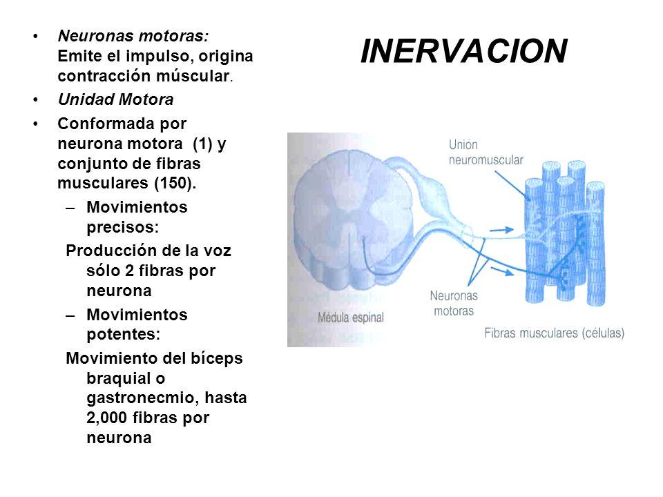 Neuronas motoras: Emite el impulso, origina contracción múscular.
