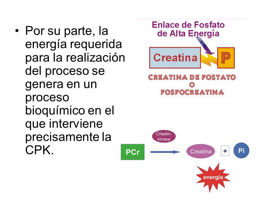 Por su parte, la energía requerida para la realización del proceso se genera en un proceso bioquímico en el que interviene precisamente la CPK.