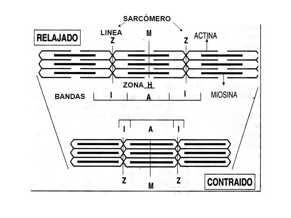 SARCÓMERO LINEA ZONA BANDAS