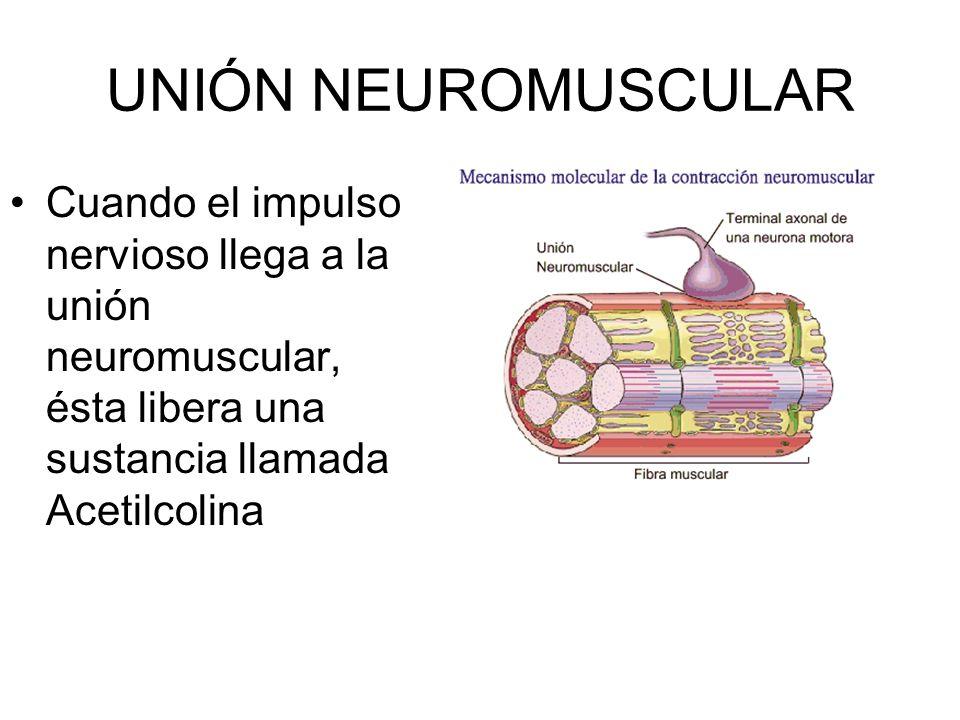 UNIÓN NEUROMUSCULAR Cuando el impulso nervioso llega a la unión neuromuscular, ésta libera una sustancia llamada Acetilcolina.