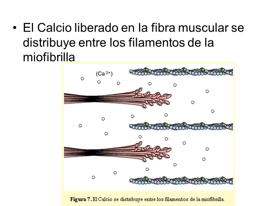 El Calcio liberado en la fibra muscular se distribuye entre los filamentos de la miofibrilla
