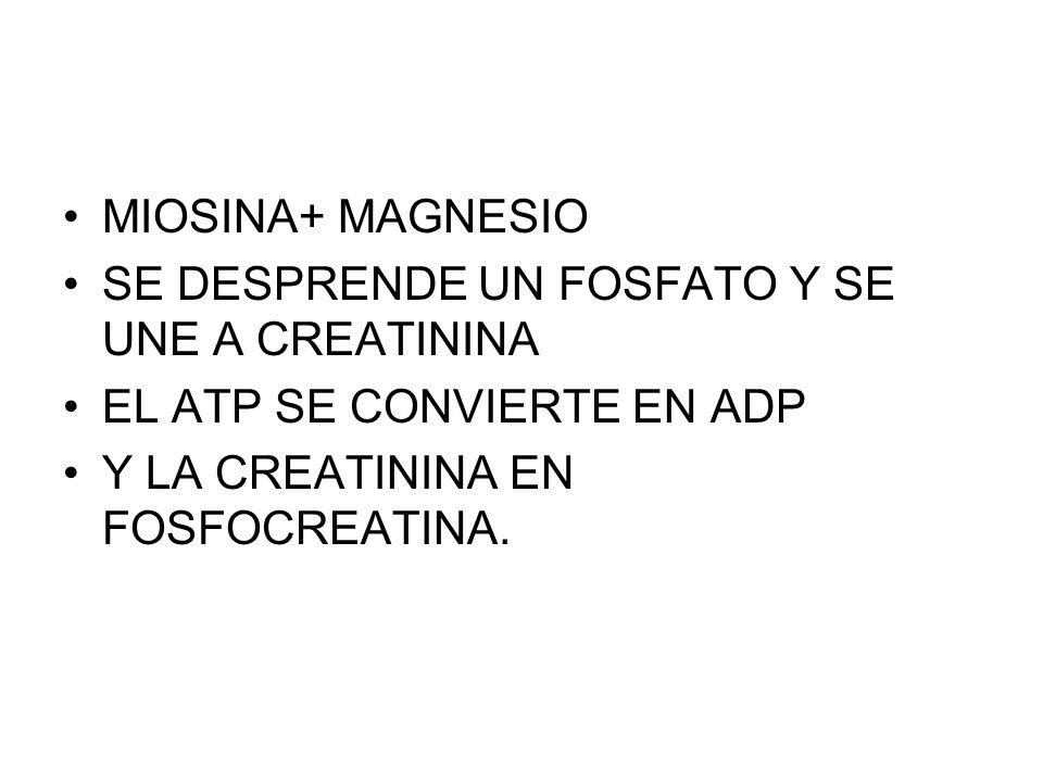 MIOSINA+ MAGNESIO SE DESPRENDE UN FOSFATO Y SE UNE A CREATININA.