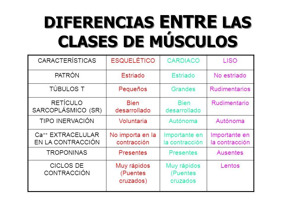 DIFERENCIAS ENTRE LAS CLASES DE MÚSCULOS