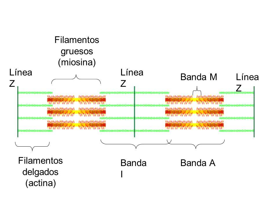 Filamentos gruesos (miosina)