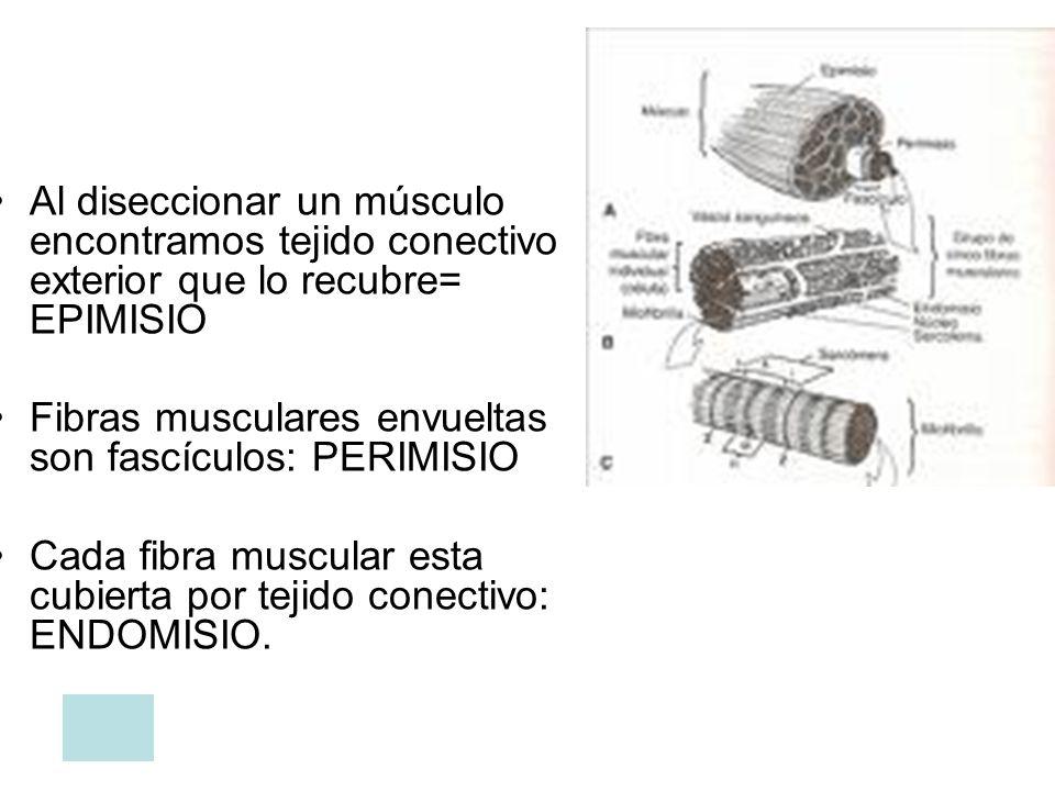 Al diseccionar un músculo encontramos tejido conectivo exterior que lo recubre= EPIMISIO
