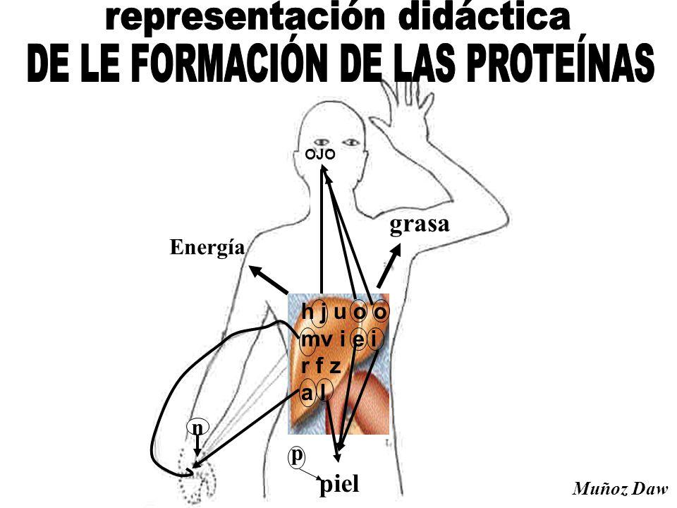representación didáctica DE LE FORMACIÓN DE LAS PROTEÍNAS