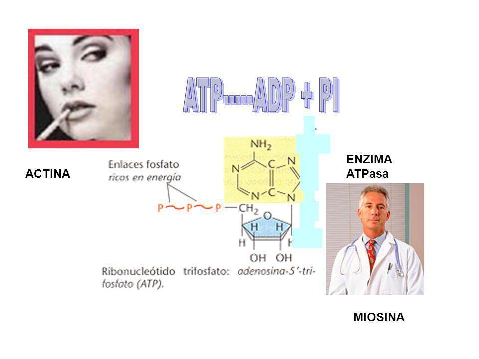 ATP-----ADP + PI ENZIMA ATPasa ACTINA MIOSINA
