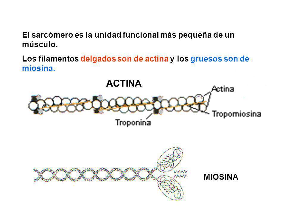 ACTINA El sarcómero es la unidad funcional más pequeña de un músculo.