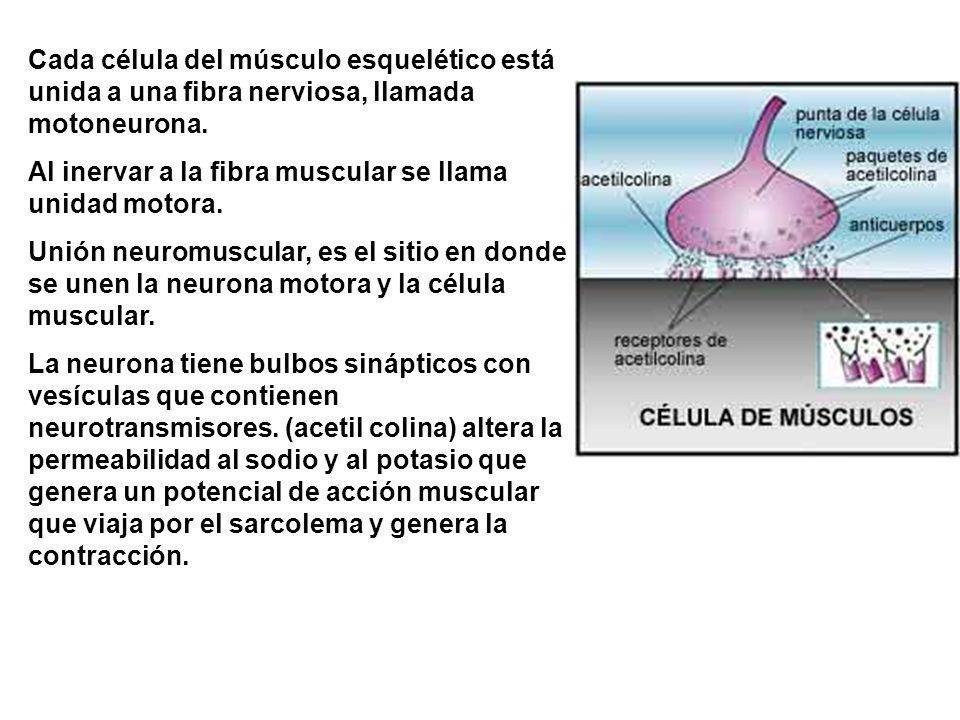 Cada célula del músculo esquelético está unida a una fibra nerviosa, llamada motoneurona.