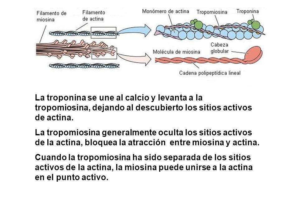 La troponina se une al calcio y levanta a la tropomiosina, dejando al descubierto los sitios activos de actina.