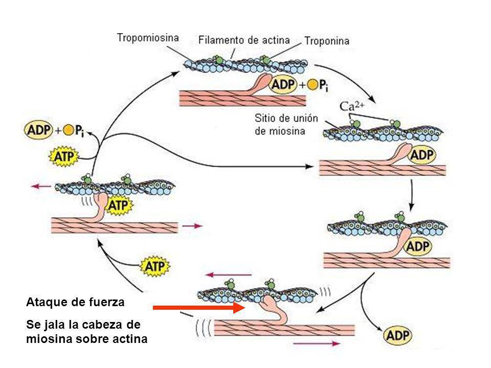 Ataque de fuerza Se jala la cabeza de miosina sobre actina