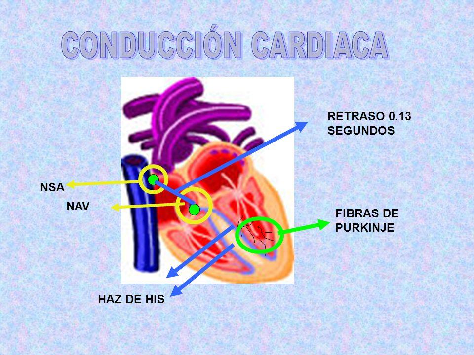 CONDUCCIÓN CARDIACA RETRASO 0.13 SEGUNDOS NSA NAV FIBRAS DE PURKINJE