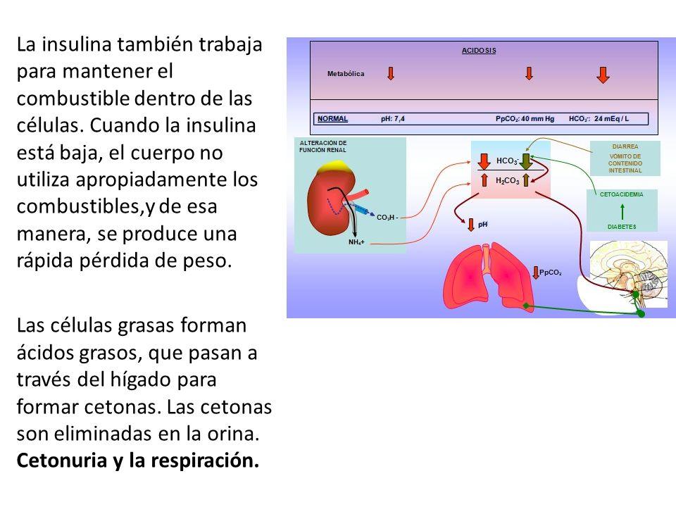 La insulina también trabaja para mantener el combustible dentro de las células. Cuando la insulina está baja, el cuerpo no utiliza apropiadamente los combustibles,y de esa manera, se produce una rápida pérdida de peso.
