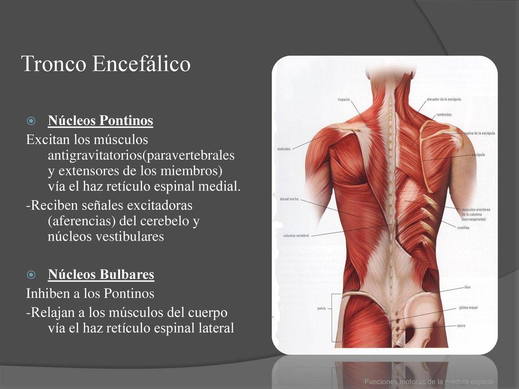 Famoso Ab Músculos Anatomía Viñeta - Imágenes de Anatomía Humana ...