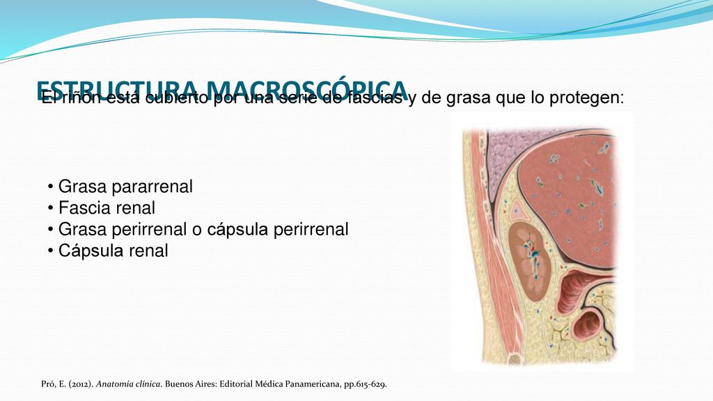 Moderno S Ancho Anatomía Macroscópica Ilustración - Anatomía de Las ...