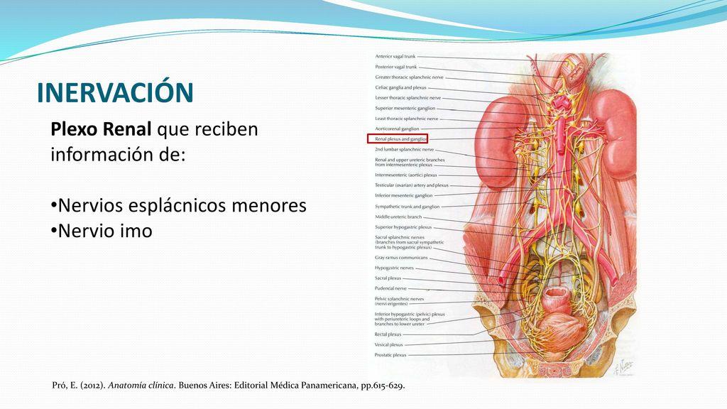 Magnífico Anatomía Fosa Renal Bosquejo - Anatomía de Las Imágenesdel ...