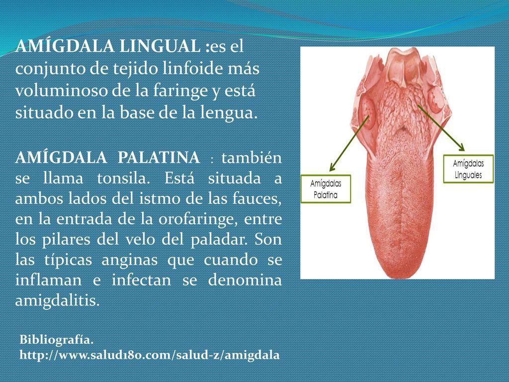 Increíble Diagrama De Amígdala Motivo - Anatomía de Las Imágenesdel ...
