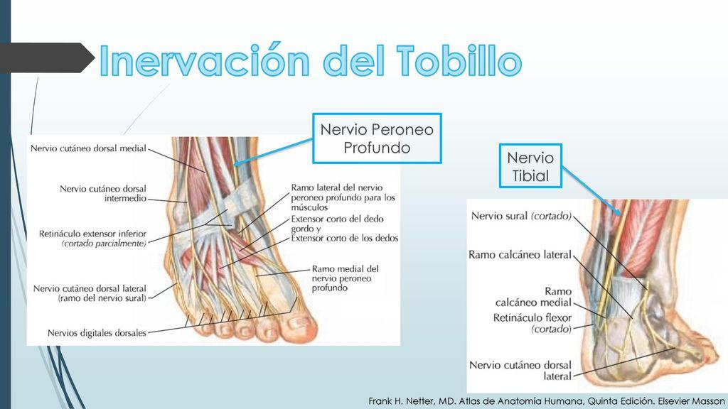 Atractivo Anatomía Del Nervio Cluneal Imágenes - Anatomía de Las ...