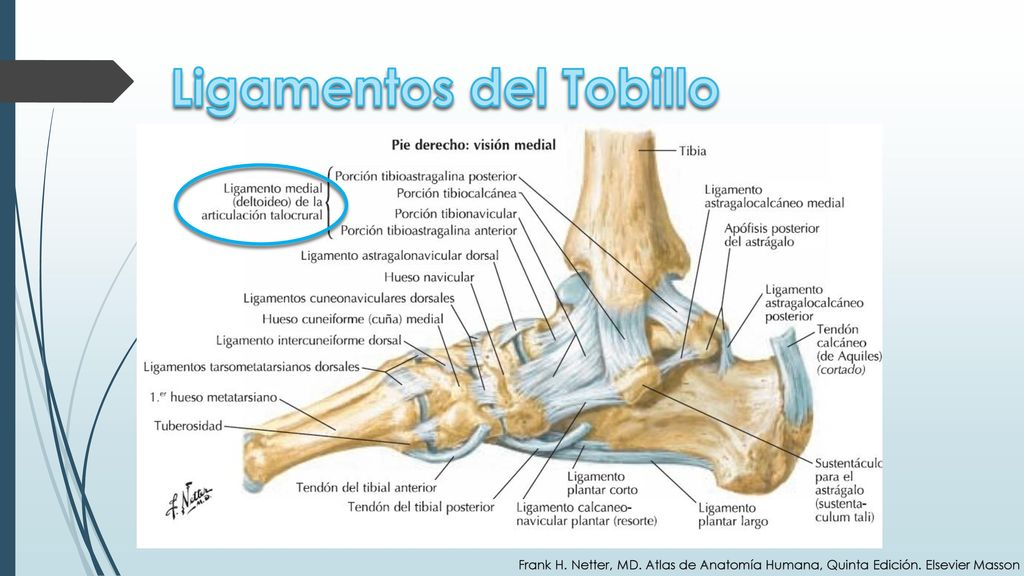Único Bario Normal De Golondrina Anatomía Molde - Imágenes de ...