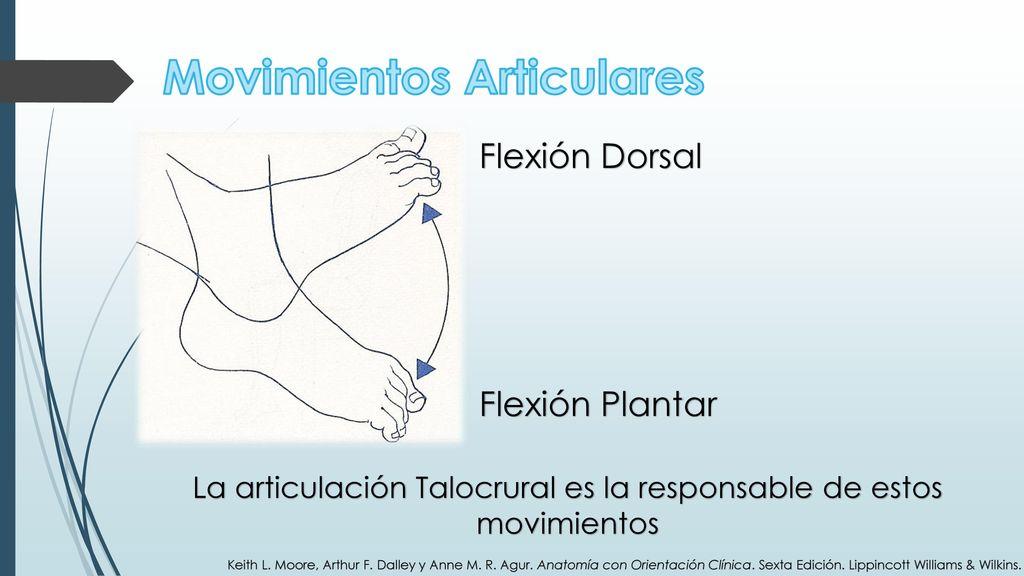 Encantador Anatomía Breyer En Movimiento Cresta - Anatomía de Las ...