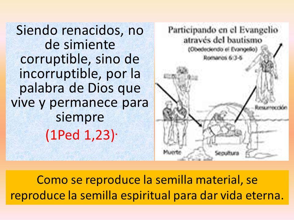 Siendo renacidos, no de simiente corruptible, sino de incorruptible, por la palabra de Dios que vive y permanece para siempre (1Ped 1,23).