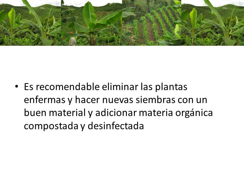 Es recomendable eliminar las plantas enfermas y hacer nuevas siembras con un buen material y adicionar materia orgánica compostada y desinfectada