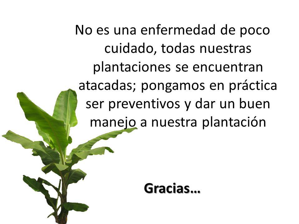 No es una enfermedad de poco cuidado, todas nuestras plantaciones se encuentran atacadas; pongamos en práctica ser preventivos y dar un buen manejo a nuestra plantación