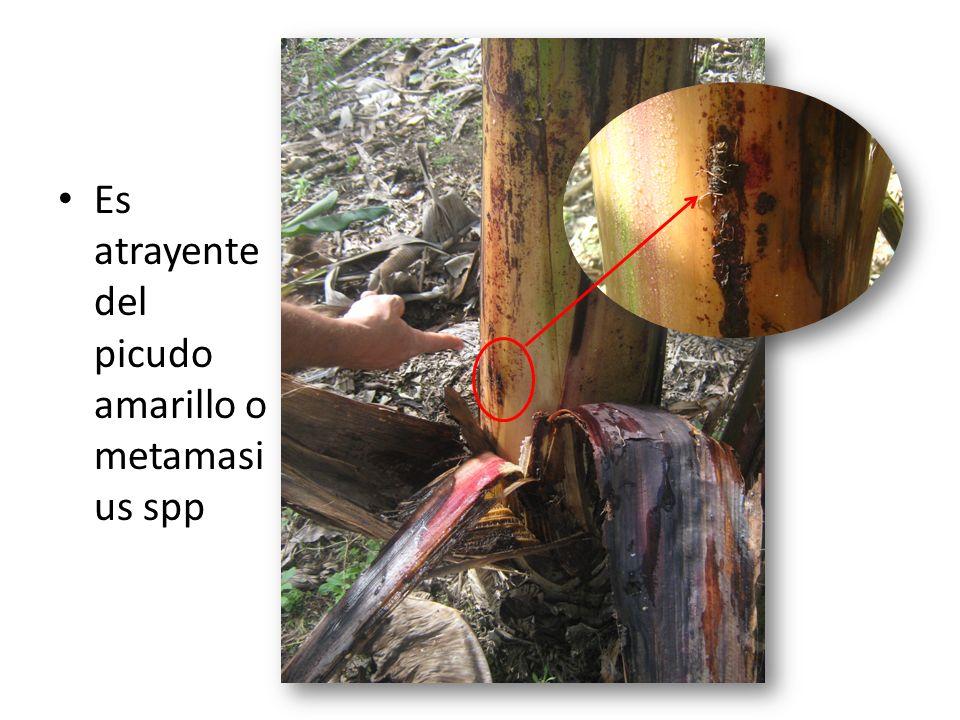Es atrayente del picudo amarillo o metamasius spp