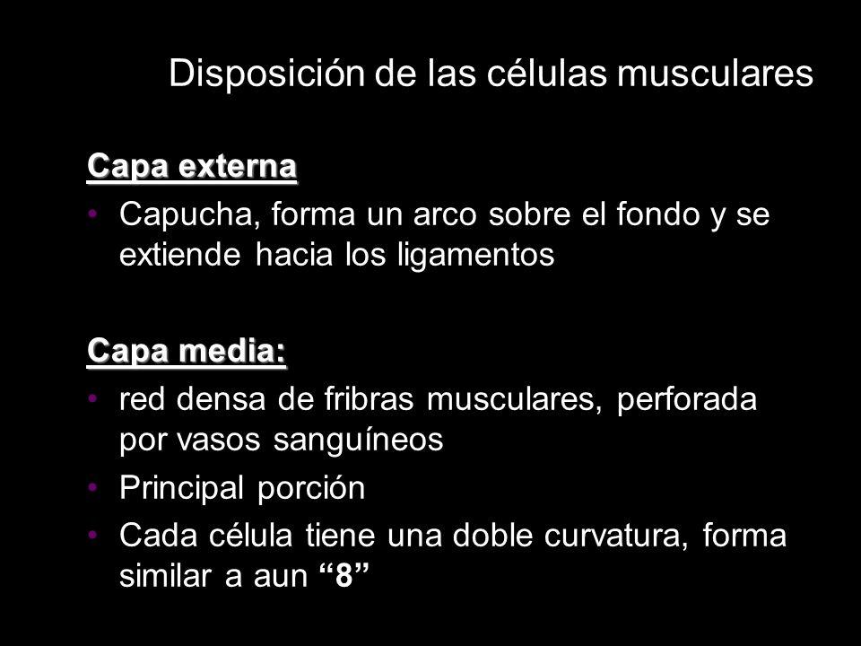 Disposición de las células musculares