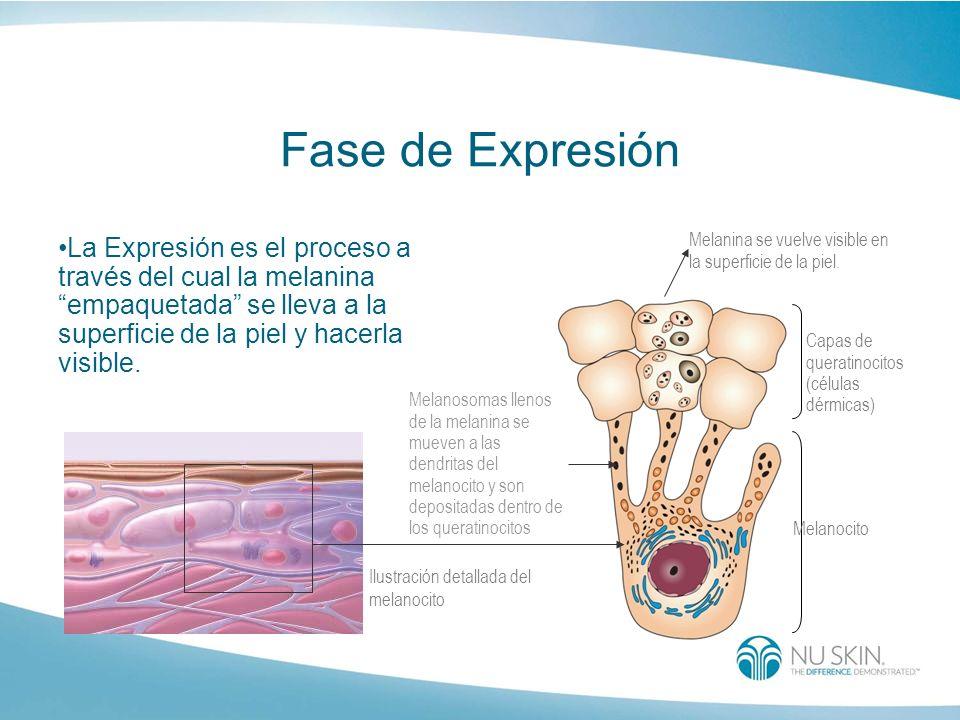 Fase de Expresión La Expresión es el proceso a través del cual la melanina empaquetada se lleva a la superficie de la piel y hacerla visible.