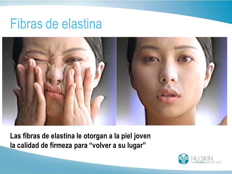 Fibras de elastina Las fibras de elastina le otorgan a la piel joven