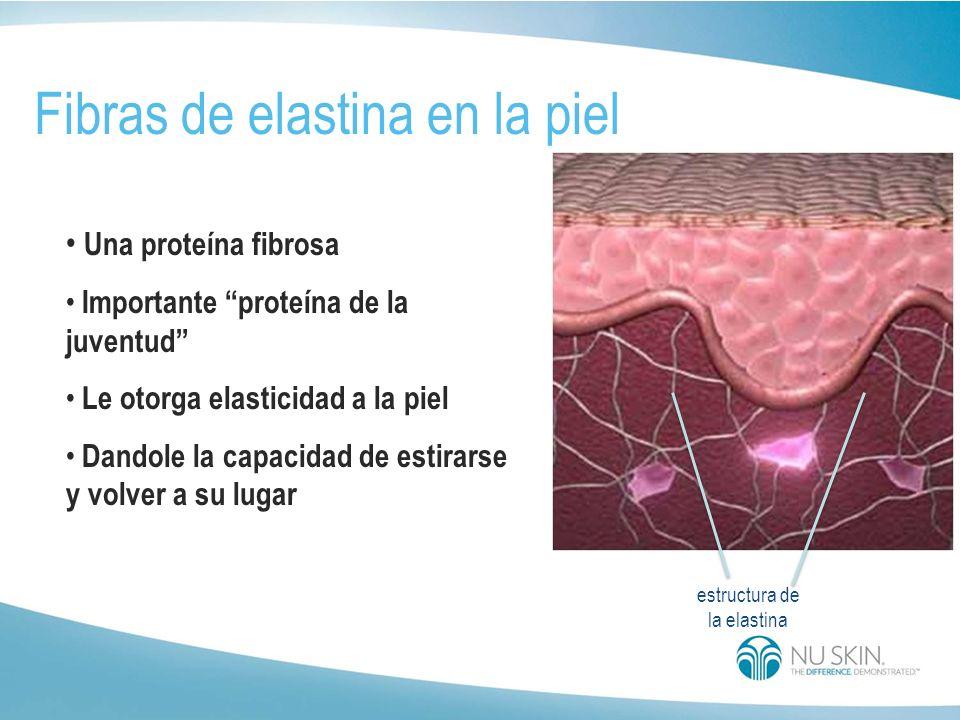 estructura de la elastina