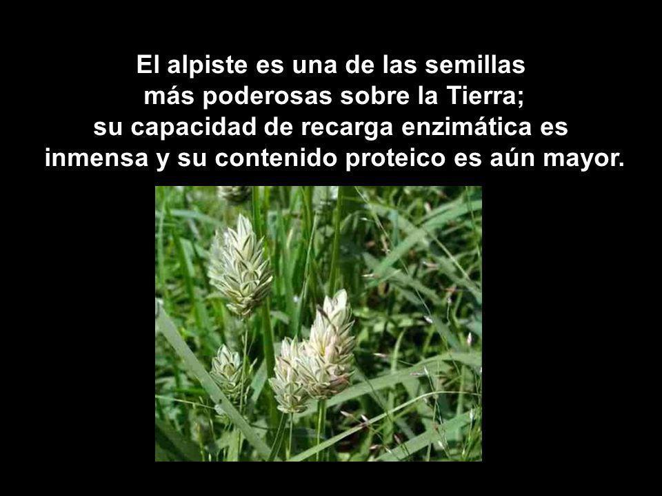 El alpiste es una de las semillas más poderosas sobre la Tierra;
